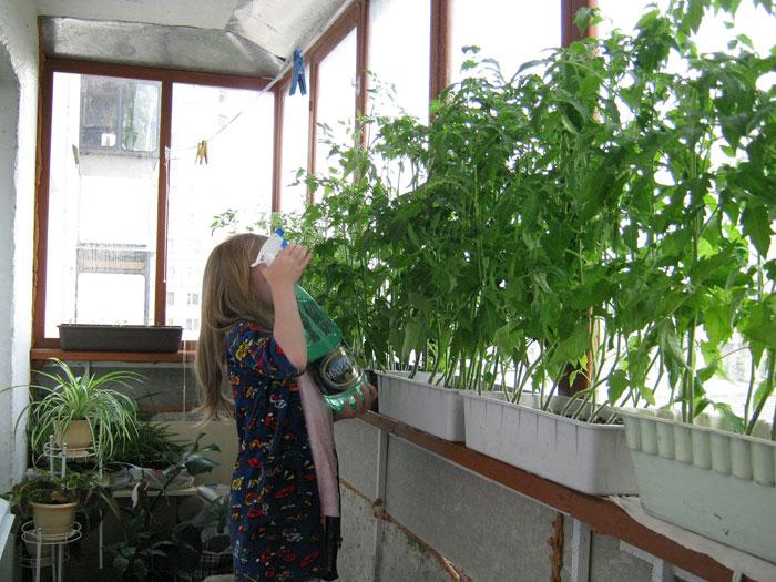 Выращивание рассады томатов. тонкости.