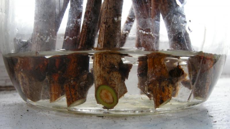 Виноград выращивание из черенков в домашних условиях видео - Наша детвора