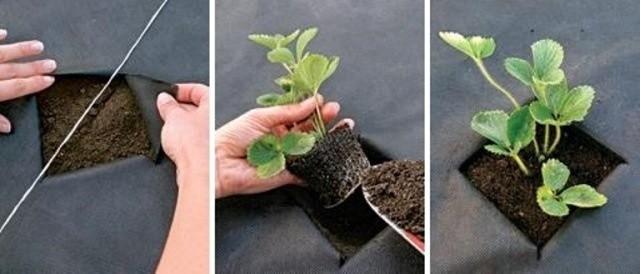 Как сделать лунки для посадки клубники под пленкой