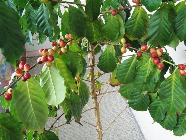 Как ухаживать в домашних условиях кофейным деревом