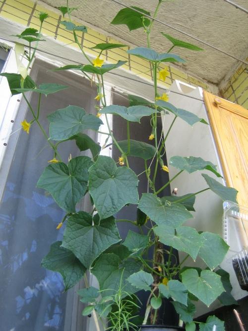 Как вырастить огурцы на балконе - секреты.