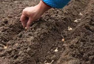 Как сажать севок в зиму 18