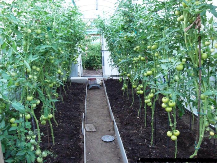 Как привязать помидоры в теплице