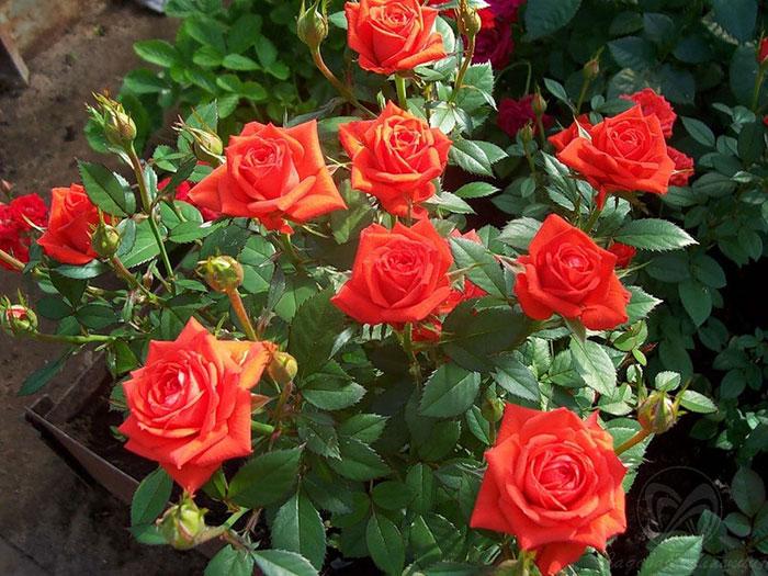 Роза миниатюрная фотографии 6